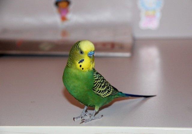 Жесты волнистых попугаев