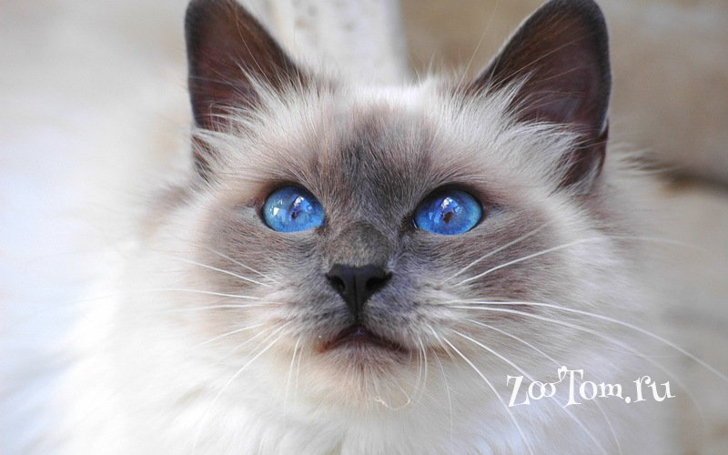 Британские серебристые шиншиллы шоу-класс с сапфировыми глазками - москва - кошки