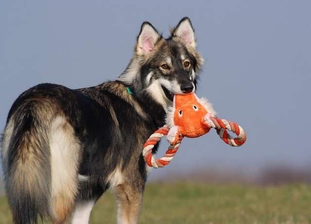 Utonagan puppy