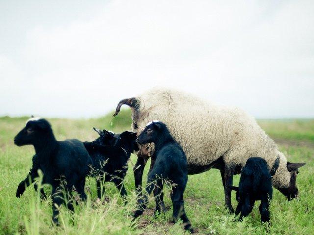 творчества количество романовских овец в россии теме: Как написать
