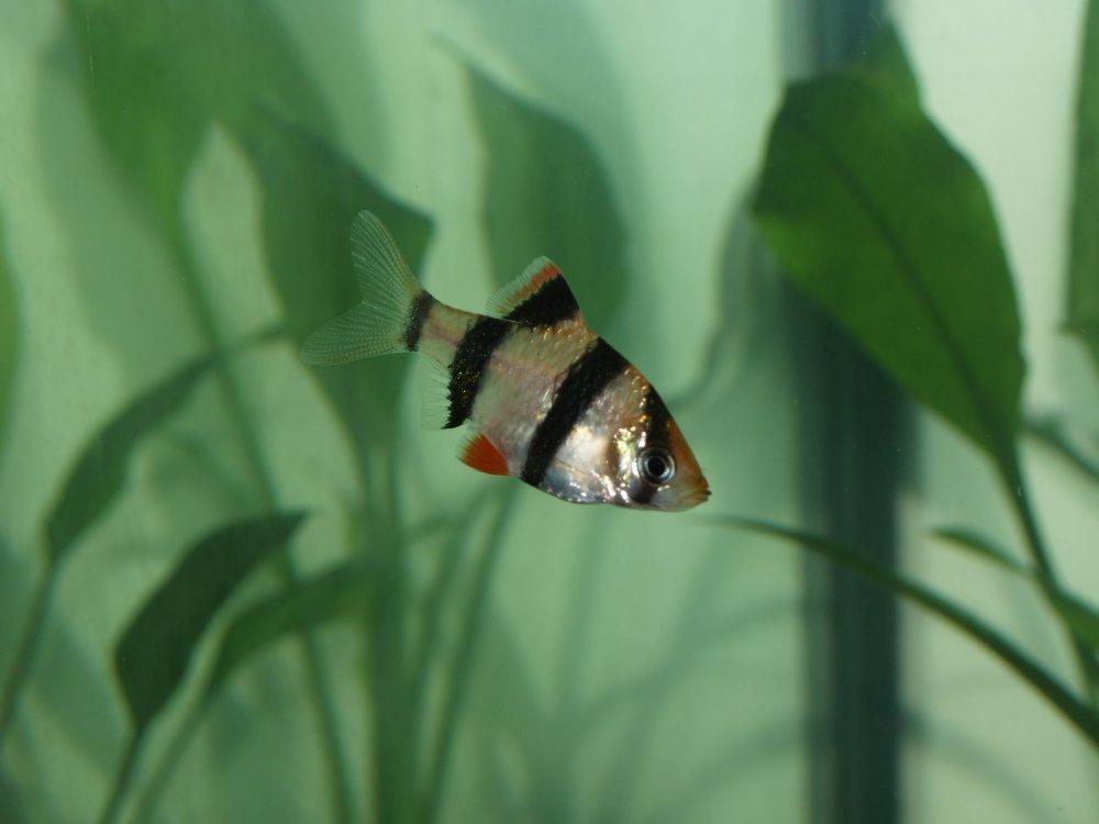 аквариумных рыбок барбус суматранский фото