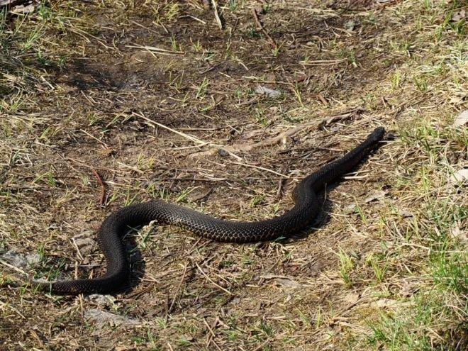 в сонах увидищ чорную змея этом свидетельствует