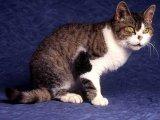Американская жесткошерстная кошка в Чебоксарах