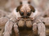 Апулийский тарантул в России