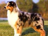 Австралийская овчарка в Барнауле