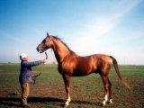 Буденновская лошадь в России