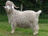 Ангорская коза в России