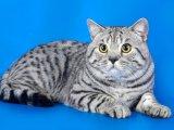 Британская короткошерстная кошка в Чебоксарах