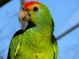 Амазон попугай в Томске