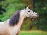 Американская миниатюрная лошадь в Чебоксарах