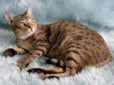 Австралийская дымчатая кошка в Чебоксарах