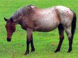 Австралийская лошадь в России
