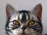 Американская короткошерстная кошка в России