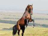 Ахалтекинская лошадь в России