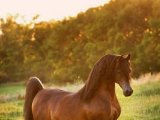 Арабская лошадь в Томске