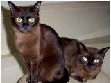 Бурманская кошка в России