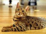 Бенгальская кошка в Томске