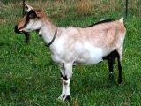 Альпийская коза в России