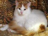 Анатолийская кошка в Томске