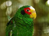 Амазон попугай в Барнауле