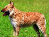 Бельгийская овчарка лакенуа в России