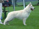 Белая швейцарская овчарка в России