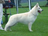 Белая швейцарская овчарка в Чебоксарах