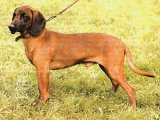Баварская следовая собака в Чебоксарах