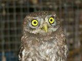Болотная сова в России