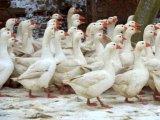 Арзамасская порода гусей в Томске