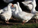 Венгерская порода гусей в России