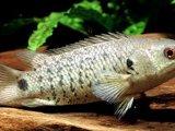 Анабас (рыба-ползун) в России