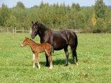 Башкирская лошадь в России