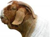 Бурская коза в Чебоксарах