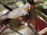 Амадин попугай в Томске