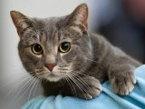 Бразильская короткошерстная кошка в Чебоксарах