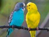 Волнистый попугай в России