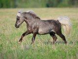 Американская миниатюрная лошадь в Томске