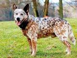 Австралийская пастушья собака в России