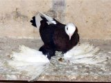 Бойные голуби в России