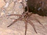 Апулийский тарантул в Томске