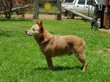 Австралийская короткохвостая пастушья собака в Томске